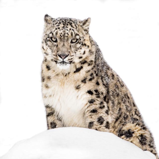 """Snow Leopard in Snow XX"" stock image"