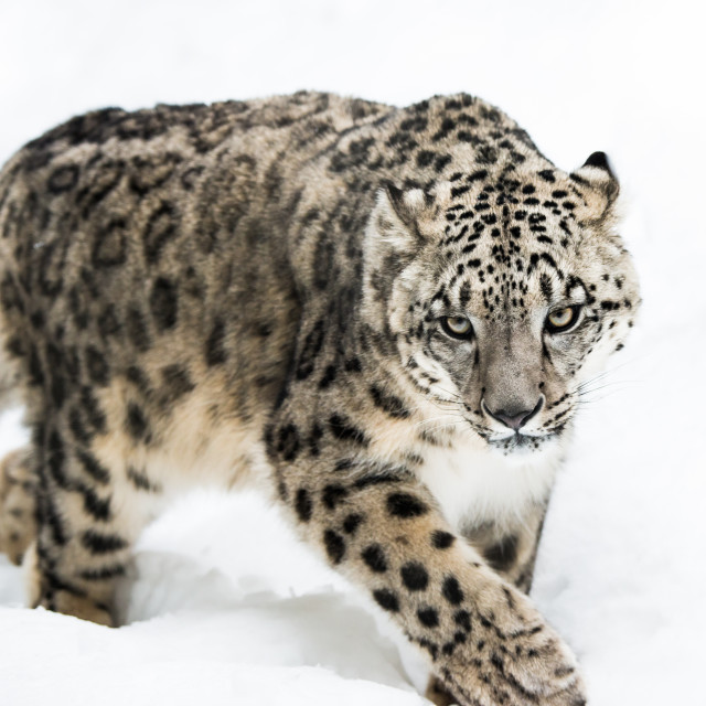 """""""Snow Leopard on the Prowl IV"""" stock image"""