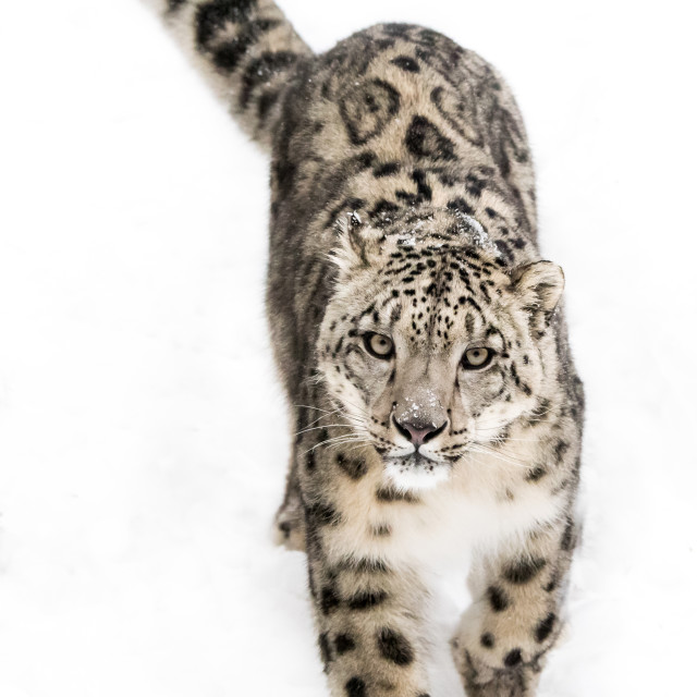 """Snow Leopard on the Prowl IX"" stock image"