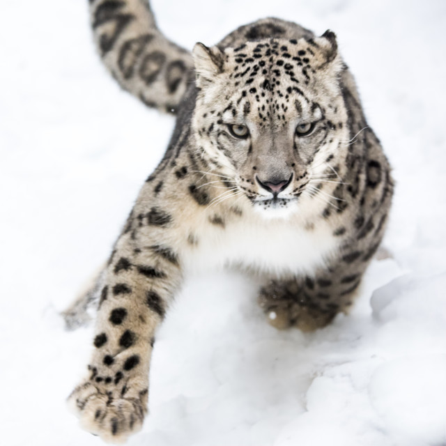 """""""Snow Leopard on the Prowl VI"""" stock image"""