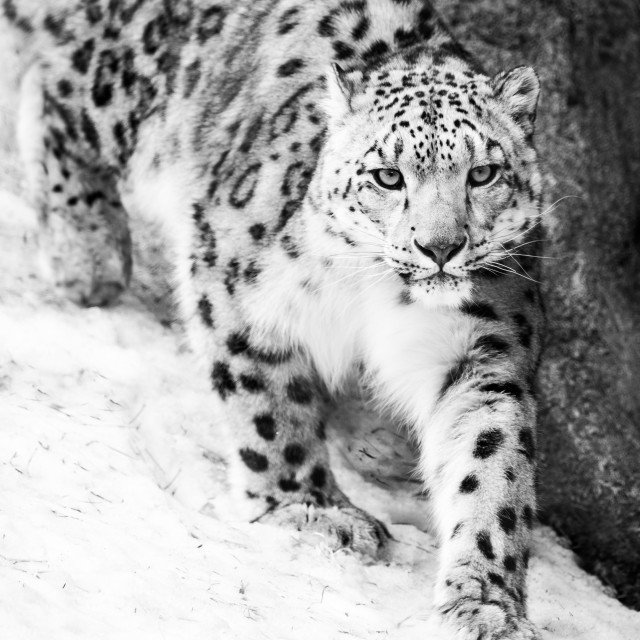 """""""Snow Leopard on the Prowl VII"""" stock image"""