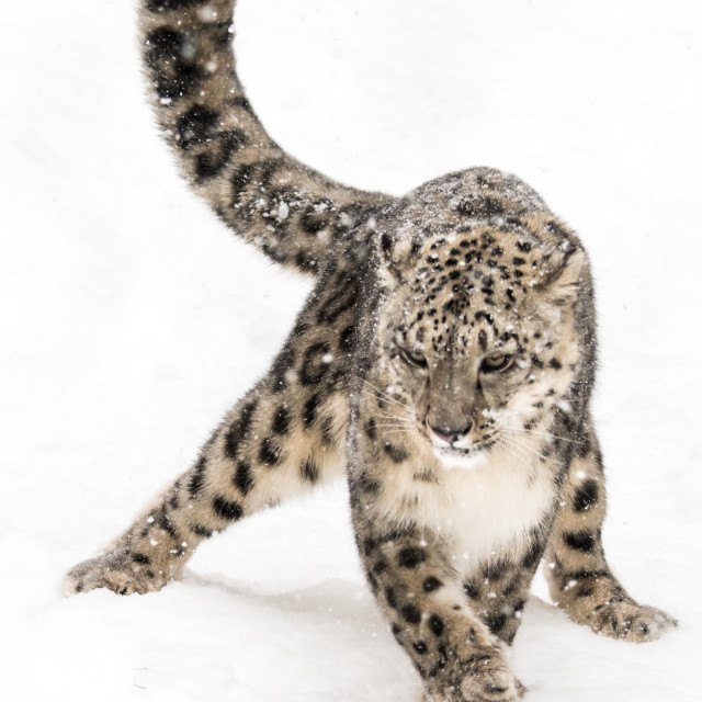 """""""Snow Leopard on the Prowl VIII"""" stock image"""