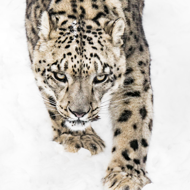 """""""Snow Leopard on the Prowl X"""" stock image"""