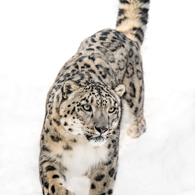 """""""Snow Leopard on the Prowl XI"""" stock image"""