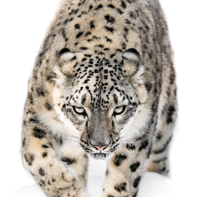 """""""Snow Leopard on the Prowl XII"""" stock image"""