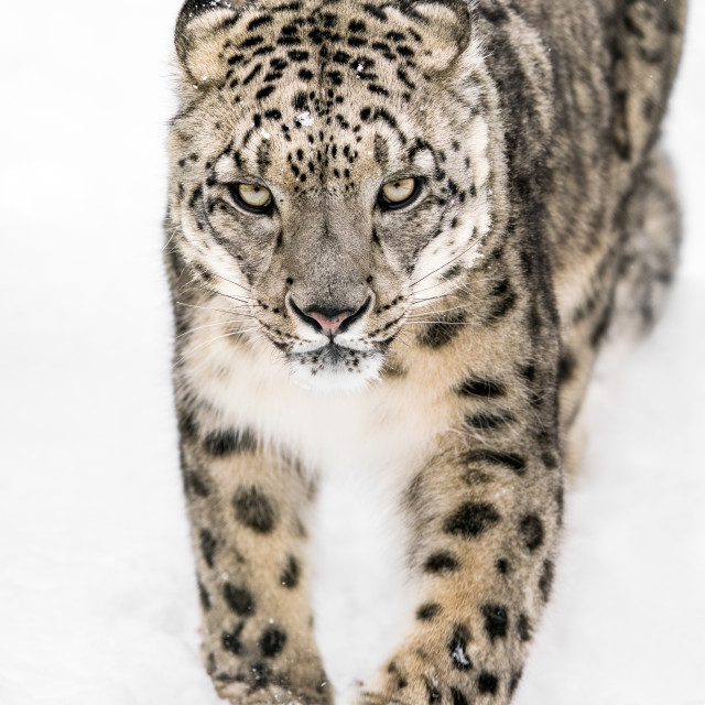 """""""Snow Leopard on the Prowl XIV"""" stock image"""