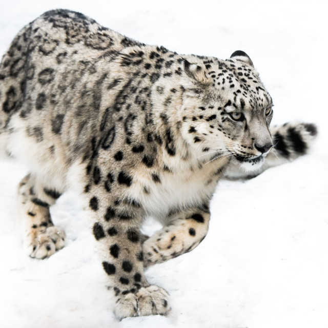 """Snow Leopard on the Run"" stock image"