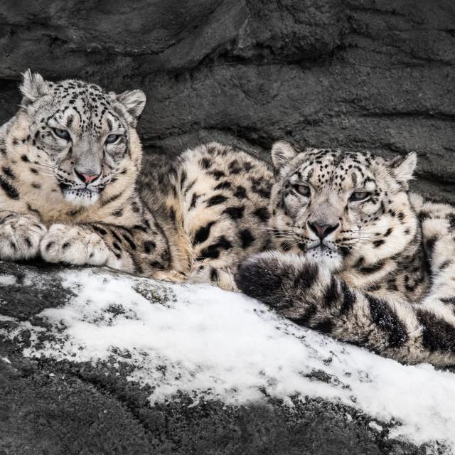 """Snow Leopard Pair III"" stock image"