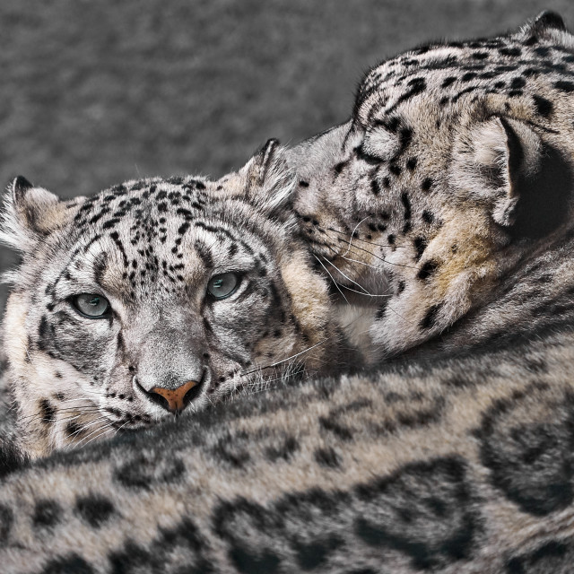 """Snow Leopard Pair V"" stock image"