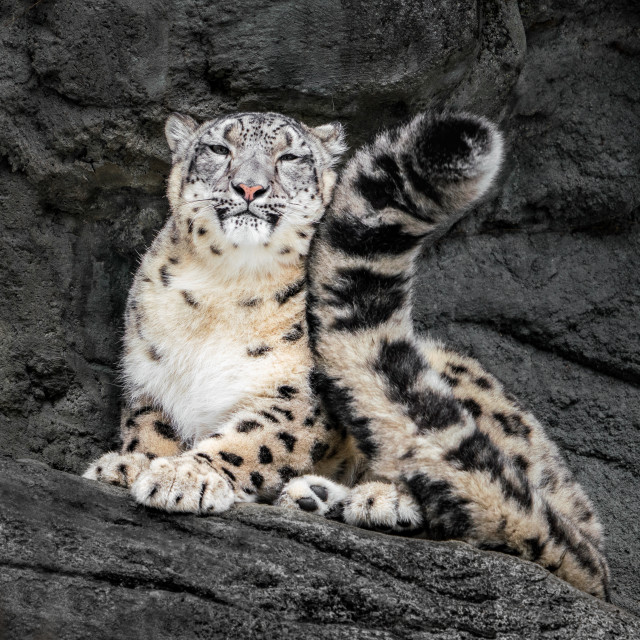 """""""Snow Leopard Tail"""" stock image"""