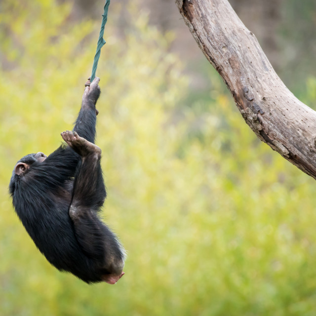 """Swinging Chimp"" stock image"