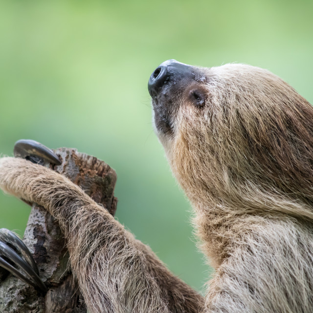 """Two-Toed Sloth"" stock image"