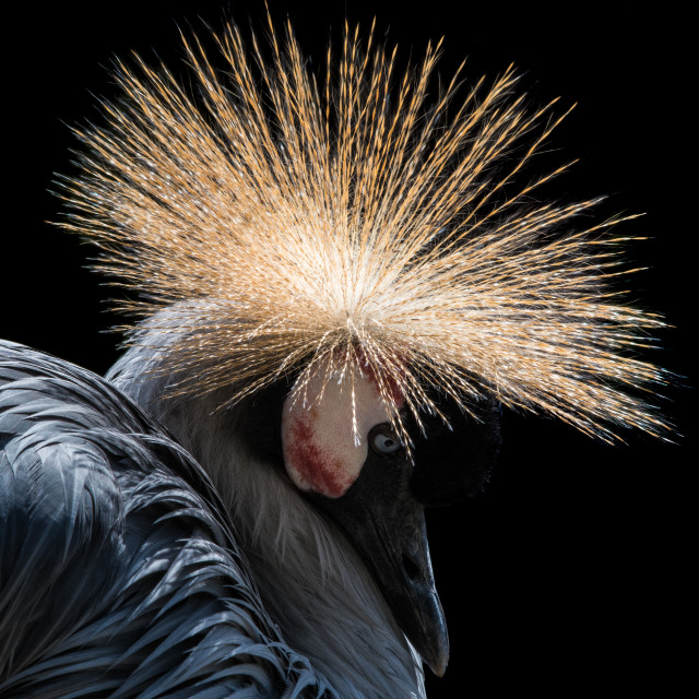 """West African Crowned Crane IV"" stock image"