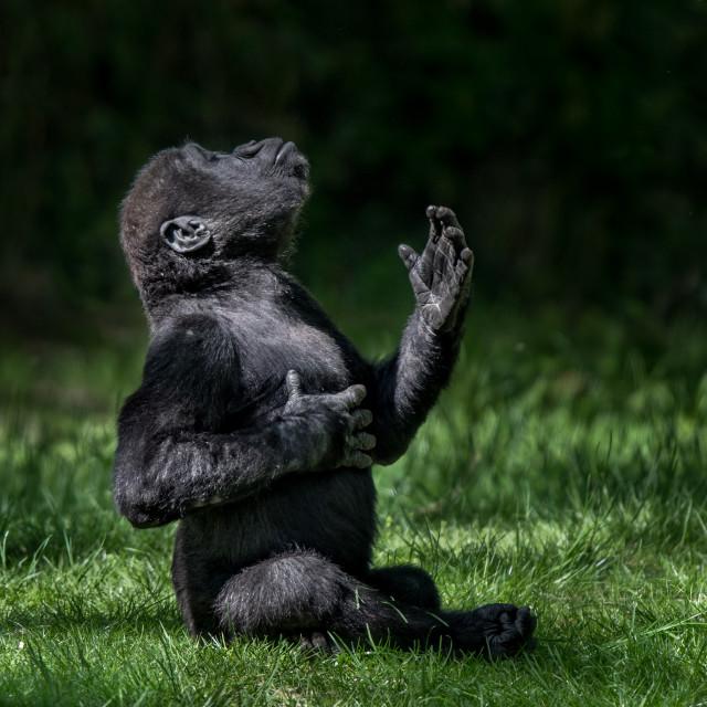 """Western Lowland Gorilla Baby II"" stock image"