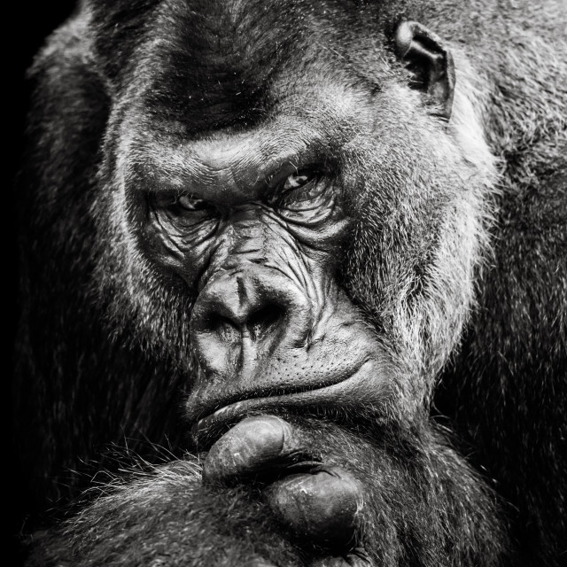 """Western Lowland Gorilla BW II"" stock image"