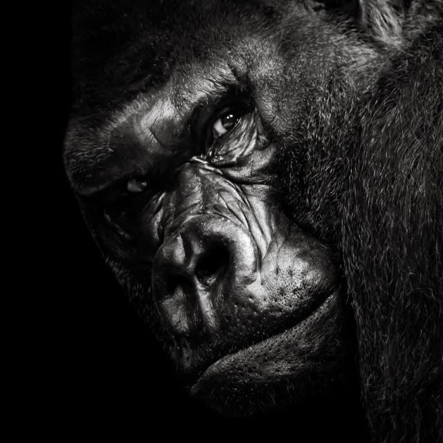 """Western Lowland Gorilla BW"" stock image"