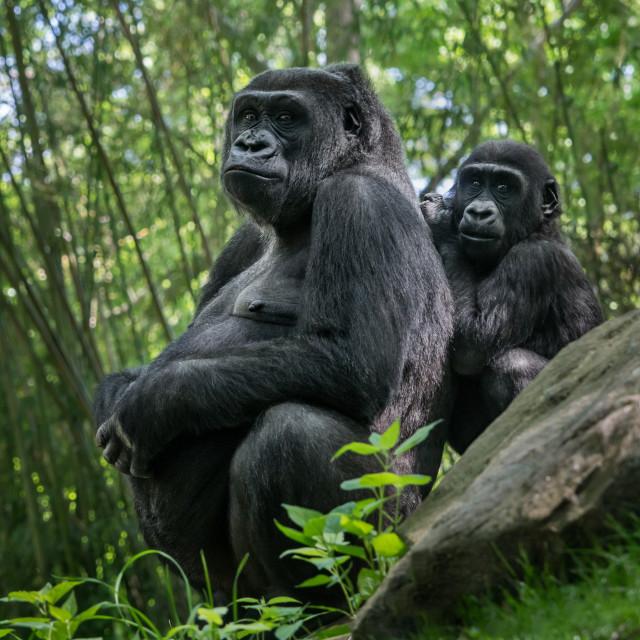 """Western Lowland Gorilla Family"" stock image"