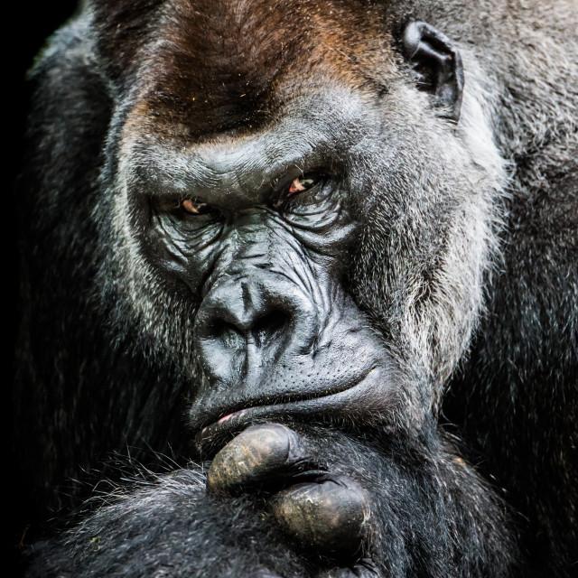 """Western Lowland Gorilla II"" stock image"