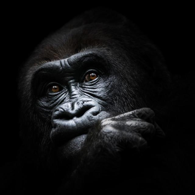 """Western Lowland Gorilla III"" stock image"