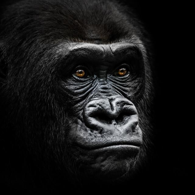 """""""Western Lowland Gorilla IV"""" stock image"""
