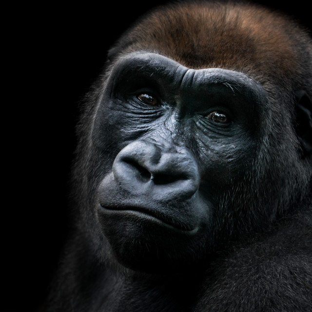 """Western Lowland Gorilla IX"" stock image"