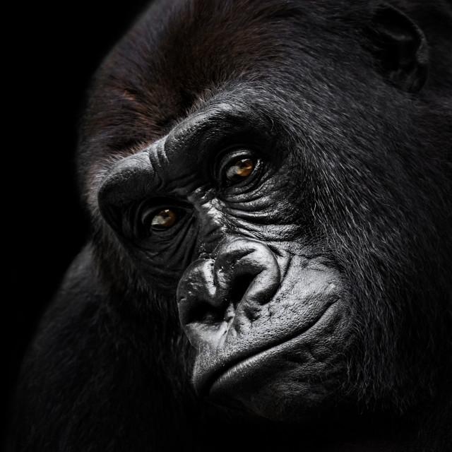 """Western Lowland Gorilla VI"" stock image"