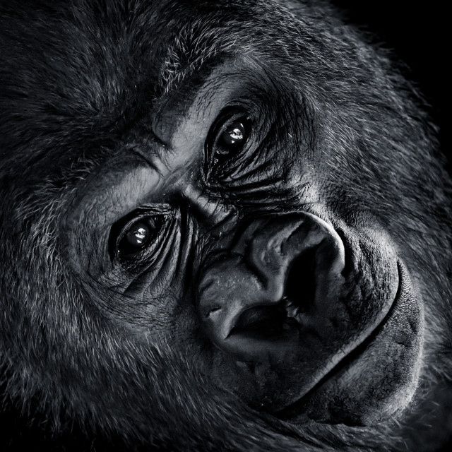 """Western Lowland Gorilla V"" stock image"