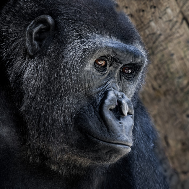 """Western Lowland Gorilla VII"" stock image"