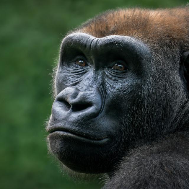 """Western Lowland Gorilla VIII"" stock image"