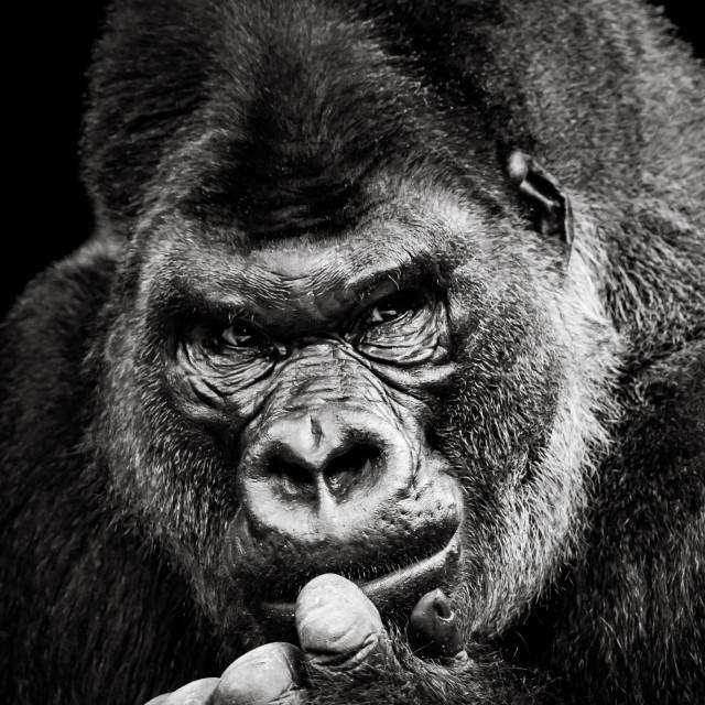 """Western Lowland Gorilla X"" stock image"