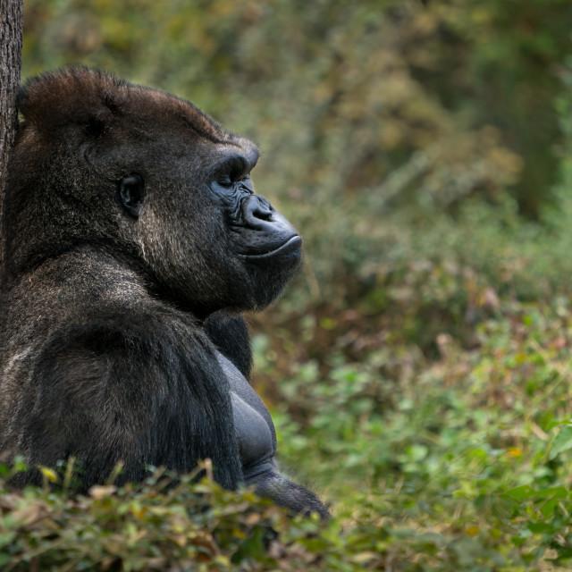 """Western Lowland Gorilla XI"" stock image"