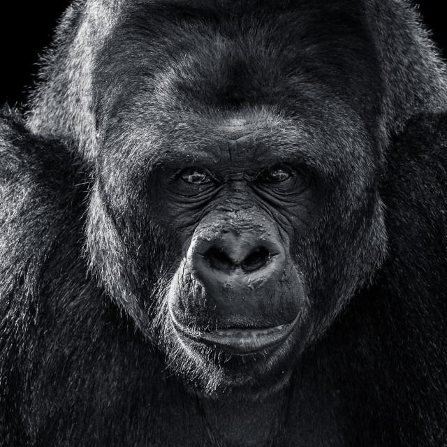"""Western Lowland Gorilla XII"" stock image"
