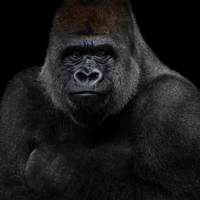 """Western Lowland Gorilla XIII"" stock image"
