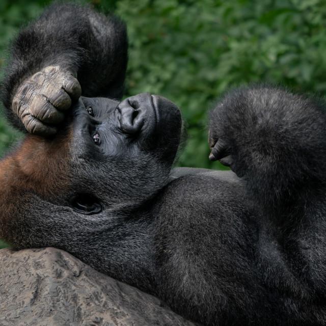"""Western Lowland Gorilla XIV"" stock image"