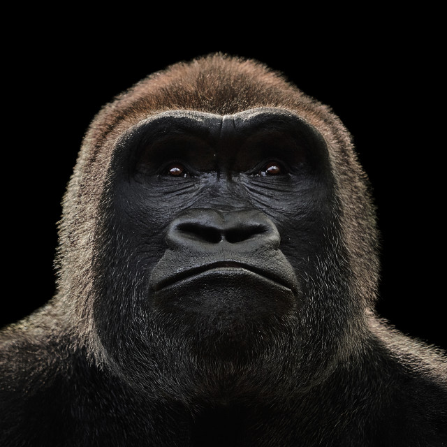 """Western Lowland Gorilla XV"" stock image"