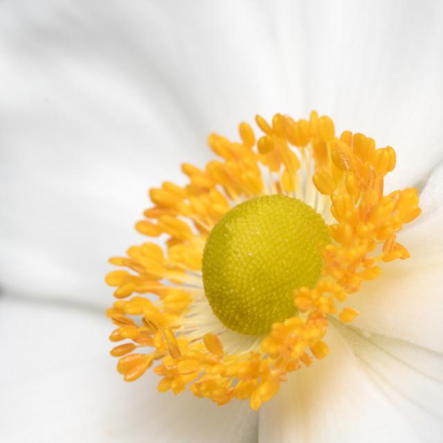 """White Anemone Closeup"" stock image"