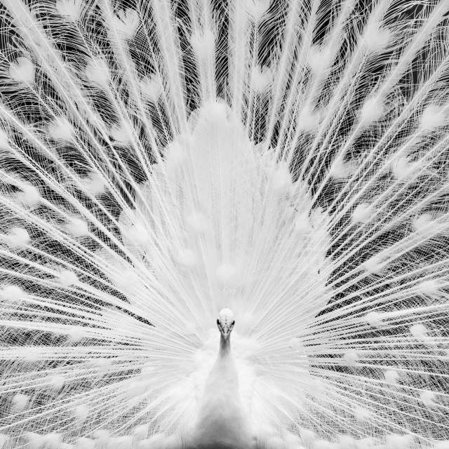 """White Peacock"" stock image"