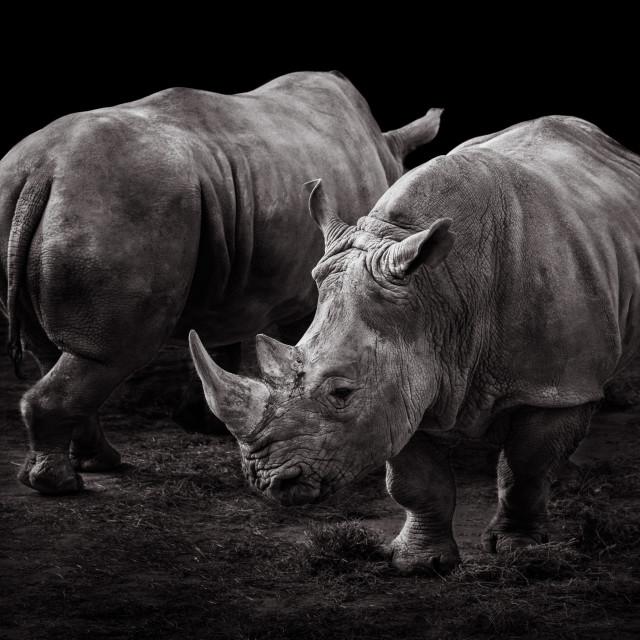 """White Rhinos"" stock image"