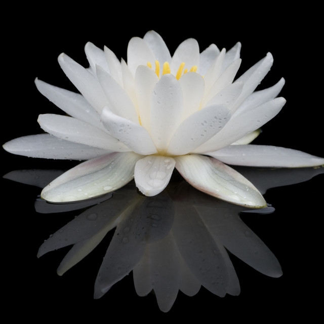 """White Water Lily"" stock image"