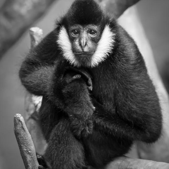 """""""White-Cheeked Gibbon"""" stock image"""