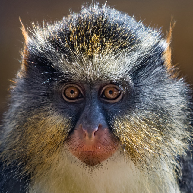 """Wolf's Guenon III"" stock image"