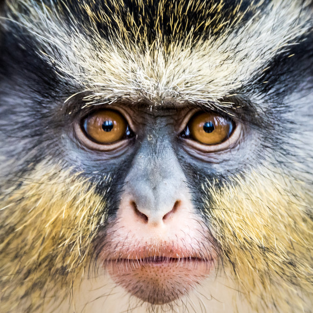 """Wolf's Guenon II"" stock image"