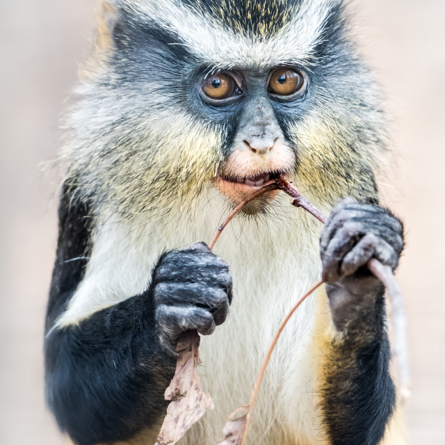 """Wolf's Guenon"" stock image"