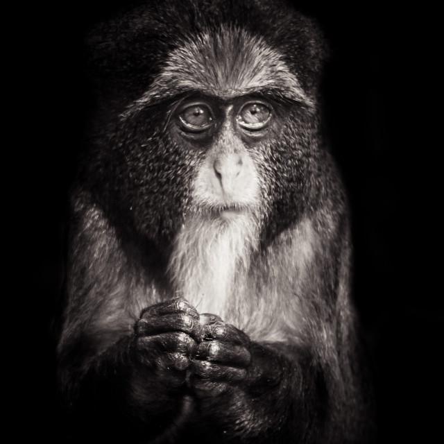 """Young De Brazza's Monkey"" stock image"