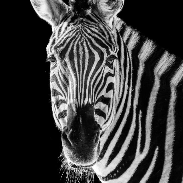 """Zebra Closeup II"" stock image"