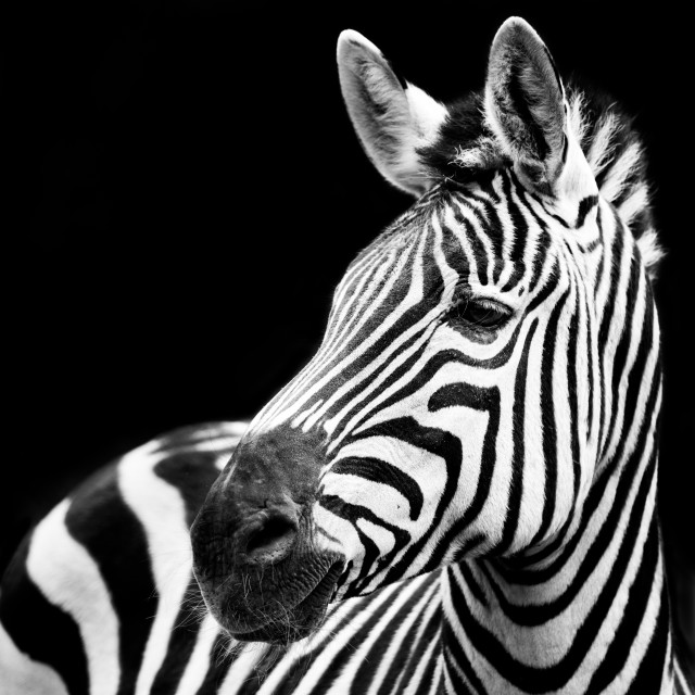 """Zebra Closeup"" stock image"