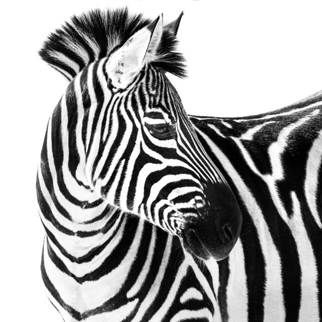 """""""Zebra in Snow II"""" stock image"""
