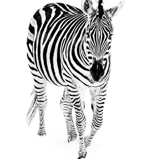 """Zebra in Snow III"" stock image"