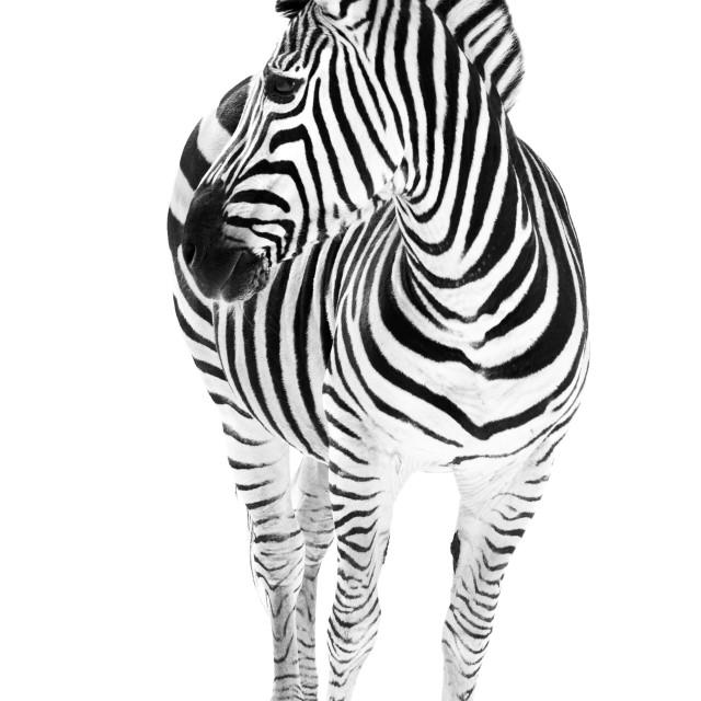 """""""Zebra in Snow IV"""" stock image"""