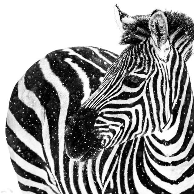 """""""Zebra in Snow IX"""" stock image"""